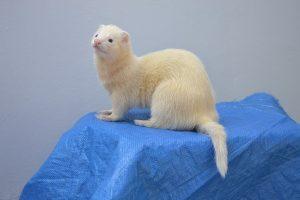 a white ferret